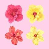 Λουλούδια της Τζαμάικας καθορισμένα Στοκ Εικόνα