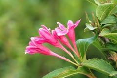 Λουλούδια της Φλώριδας Weigela Στοκ εικόνα με δικαίωμα ελεύθερης χρήσης