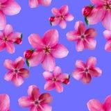 Λουλούδια της Apple Άνευ ραφής σύσταση σχεδίων των λουλουδιών Floral backg Στοκ Εικόνες