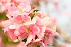 Λουλούδια της Apple, άνθος ανοίξεων Στοκ φωτογραφίες με δικαίωμα ελεύθερης χρήσης