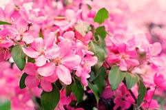 Λουλούδια της Apple, άνθος ανοίξεων Στοκ Φωτογραφία