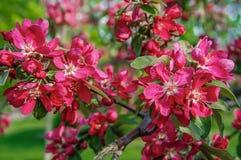 Λουλούδια της Apple, άνθος ανοίξεων Στοκ εικόνα με δικαίωμα ελεύθερης χρήσης