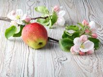 Λουλούδια της Apple και ώριμα κόκκινα μήλα Στοκ εικόνες με δικαίωμα ελεύθερης χρήσης