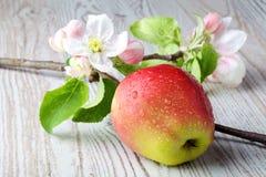 Λουλούδια της Apple και ώριμα κόκκινα μήλα Στοκ φωτογραφία με δικαίωμα ελεύθερης χρήσης