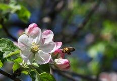 Λουλούδια της Apple με τη μέλισσα Στοκ Εικόνα