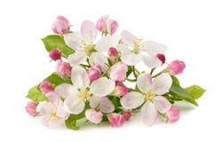 Λουλούδια της Apple με τους οφθαλμούς Στοκ εικόνες με δικαίωμα ελεύθερης χρήσης