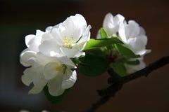 Λουλούδια της Apple πέρα από το φυσικό υπόβαθρο Στοκ εικόνες με δικαίωμα ελεύθερης χρήσης