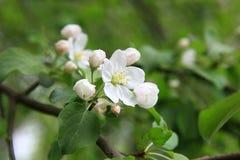 Λουλούδια της Apple πέρα από το φυσικό υπόβαθρο Στοκ φωτογραφία με δικαίωμα ελεύθερης χρήσης