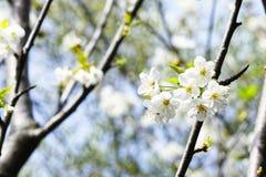 Λουλούδια της Apple σε έναν κήπο Στοκ Εικόνα