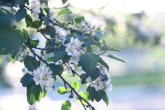 Λουλούδια της Apple στα λουλούδια κλάδων μήλων Στοκ Φωτογραφίες