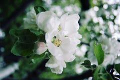 Λουλούδια της Apple στην άνθιση ηλικίας φωτογραφία Στοκ εικόνες με δικαίωμα ελεύθερης χρήσης