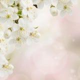 Λουλούδια της Apple στον κήπο Στοκ Εικόνες