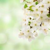 Λουλούδια της Apple στον πράσινο κήπο Στοκ Εικόνες