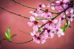 Λουλούδια της Apple στο άνθος άνοιξη Στοκ Φωτογραφία