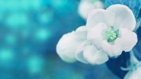 Λουλούδια της Apple στο αφηρημένο θολωμένο υπόβαθρο Στοκ εικόνα με δικαίωμα ελεύθερης χρήσης