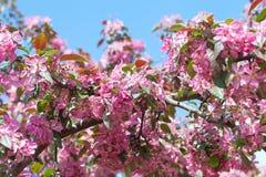 Λουλούδια της Apple. Στοκ φωτογραφία με δικαίωμα ελεύθερης χρήσης