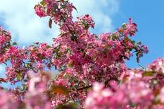 Λουλούδια της Apple. Στοκ Φωτογραφίες