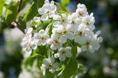 Λουλούδια της Apple Στοκ φωτογραφία με δικαίωμα ελεύθερης χρήσης
