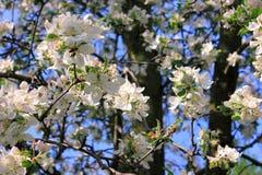 Λουλούδια της Apple Στοκ εικόνα με δικαίωμα ελεύθερης χρήσης