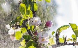 Λουλούδια της Apple Στοκ Φωτογραφία