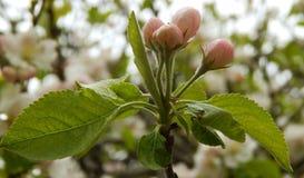 Λουλούδια της Apple στοκ φωτογραφίες