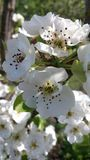 Λουλούδια της Apple Στοκ εικόνες με δικαίωμα ελεύθερης χρήσης