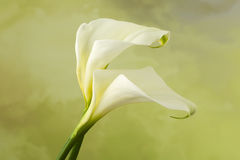 Λουλούδια της Calla Arum Στοκ Εικόνες