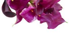 Λουλούδια της Calla lilly Στοκ Φωτογραφία