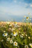 Λουλούδια της Daisy ενάντια στο μπλε ουρανό Στοκ εικόνα με δικαίωμα ελεύθερης χρήσης