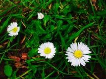 Λουλούδια της Daisy με το πράσινο και νέο φύλλο στο πάρκο Στοκ Εικόνες