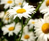 Λουλούδια της Daisy στην άνθιση Στοκ εικόνα με δικαίωμα ελεύθερης χρήσης