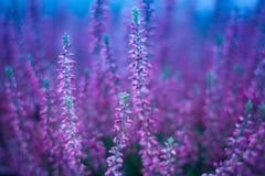 Λουλούδια της Heather Στοκ Εικόνες
