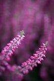 Λουλούδια της Heather Στοκ φωτογραφία με δικαίωμα ελεύθερης χρήσης