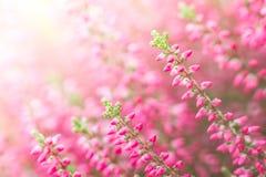 Λουλούδια της Heather Στοκ εικόνες με δικαίωμα ελεύθερης χρήσης