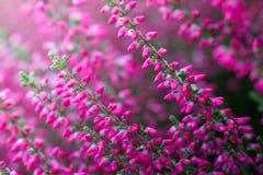 Λουλούδια της Heather Στοκ Φωτογραφίες
