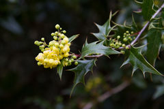 Λουλούδια της Holly στοκ φωτογραφία με δικαίωμα ελεύθερης χρήσης