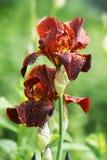 Λουλούδια της Iris μετά από τη βροχή Στοκ εικόνα με δικαίωμα ελεύθερης χρήσης