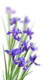 Λουλούδια της Iris σε ένα λευκό Στοκ εικόνες με δικαίωμα ελεύθερης χρήσης