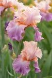 Λουλούδια της Iris Στοκ Εικόνα
