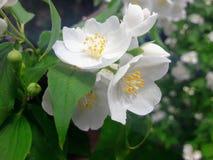 Λουλούδια της Jasmin Στοκ φωτογραφία με δικαίωμα ελεύθερης χρήσης