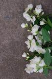 Λουλούδια της Jasmine στην γκρίζα πέτρα Στοκ εικόνες με δικαίωμα ελεύθερης χρήσης