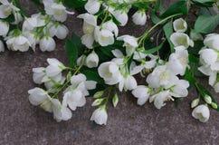 Λουλούδια της Jasmine στην γκρίζα πέτρα Στοκ Φωτογραφία