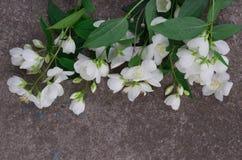 Λουλούδια της Jasmine στην γκρίζα πέτρα Στοκ φωτογραφία με δικαίωμα ελεύθερης χρήσης