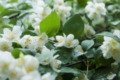 Λουλούδια της Jasmine στον κλάδο Στοκ Φωτογραφία