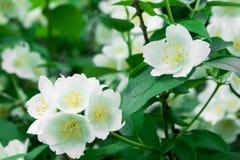 Λουλούδια της Jasmine στον κλάδο Στοκ Εικόνες
