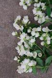 Λουλούδια της Jasmine στο γκρίζο υπόβαθρο πετρών Στοκ φωτογραφίες με δικαίωμα ελεύθερης χρήσης