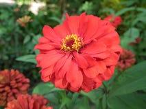 Λουλούδια της Zinnia Στοκ εικόνες με δικαίωμα ελεύθερης χρήσης