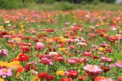 Λουλούδια της Zinnia Στοκ Φωτογραφίες