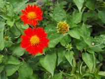 Λουλούδια της Zinnia Narrowleaf Στοκ Εικόνα