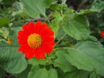 Λουλούδια της Zinnia Narrowleaf Στοκ Εικόνες